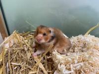 thumb_Hamster
